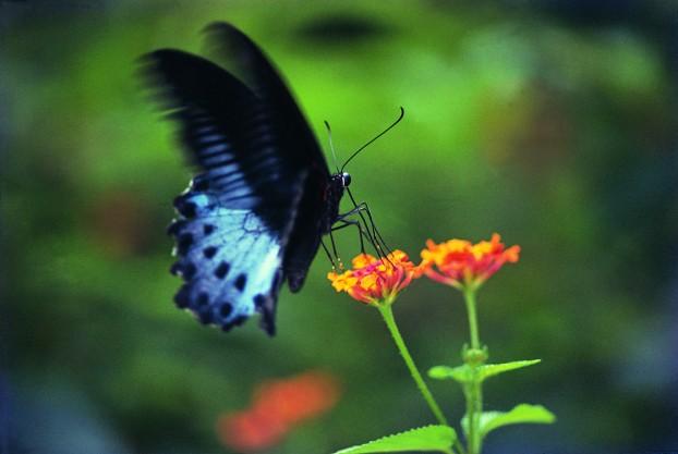 Flying Flowers Of Kerala