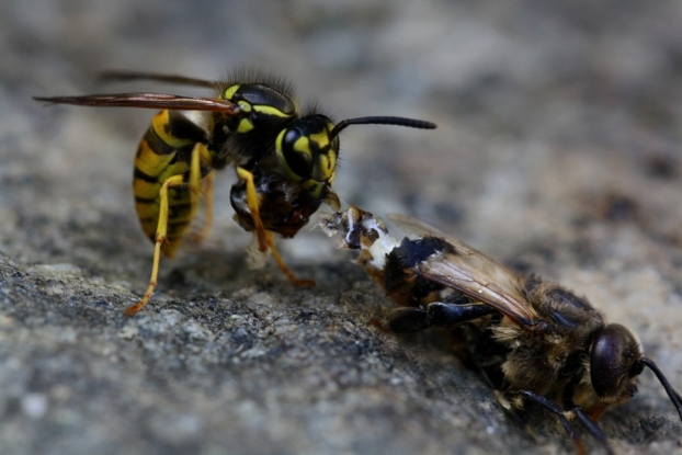 Wasps vs Bees What Are The Differences and Similarities